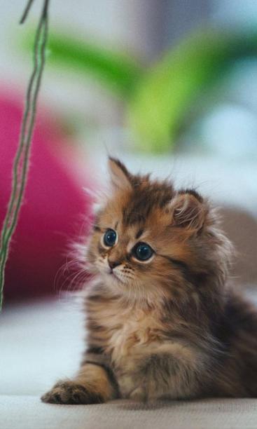 黛西猫萌宠可爱锁屏桌面
